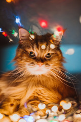 Ginger Maine Coon fluffy cat portrait lying on the couch with colorful glowing Christmas garland. Bokeh lights and reflections in top of the picture