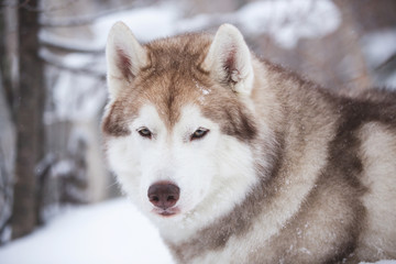 Close-up portrait of gorgeous and free beige dog breed siberian husky lying on the snow in the fairy winter forest