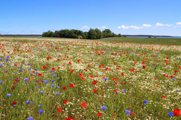 Panorama of the holiday island Ruegen in spring with poppies and cornflowers