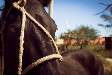 Approach of the head of a black horse tied with ropes.