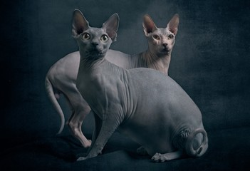 Two sphynx cats looking curious to the camera. in front of dark background.