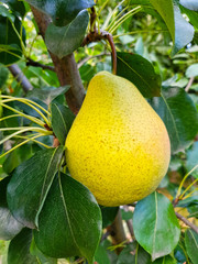 Yellow pear fruit on a tree
