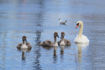 A Swan mummy with her cute babies in the baltic sea Germany