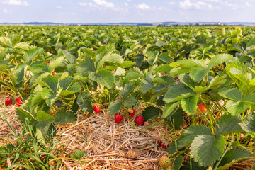 Strawberry field with ripe berries
