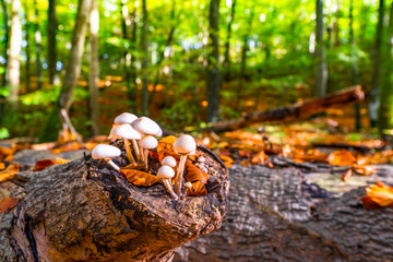 Group of white mushrooms on a wooden log
