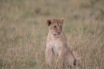 Poster Leeuw Lion cub in Maasai Mara