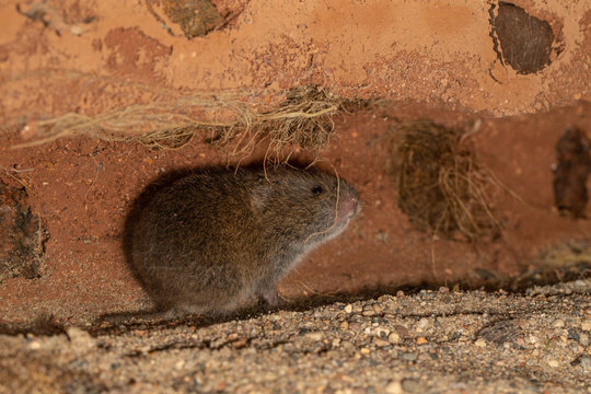 Meadow Vole taken in southern MN under controlled conditions