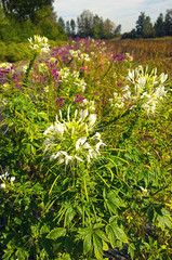 Colorful summer cultivation of African lilies, Agapanthus africanus, flowers of the Agapanthaceae family originating in South Africa