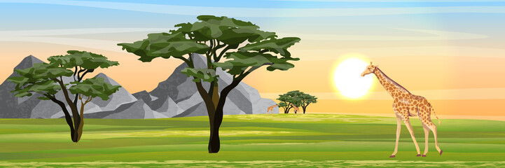 Giraffes eat the foliage of acacia trees in the African savannah. Mountains on the horizon. Realistic vector landscape. The nature of Africa. Reserves and national parks.