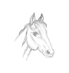 Horse head profile sketch. Pencil drawing isolated on white background. Animal portrait graphics. Hand drawn Image of stallion.