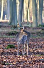Jeune daim mâle isolé - forêt de Roumare Normandie