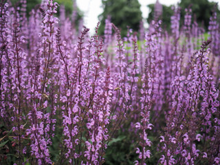 Tall racemes of purple wild flowers, Salvia Serenade cultivar in bloom