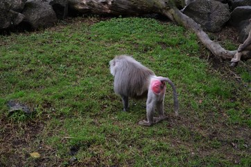 Hamadryas baboon with pink back in Auckland zoo