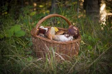 Obraz Kosz z grzybami jadalnymi w lesie. Grzybobranie - fototapety do salonu