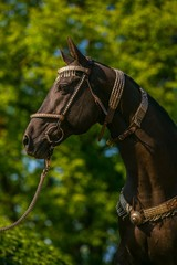 In profile portrait of beautiful young dark brown stallion of Akhal Teke horse breed with fancy silver halter on, sunny spring day at a farm, green trees in background, vertical image