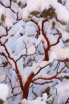 A manzanita bush is covered with snow which highlights the red branches.
