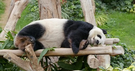 Wall Mural - Panda sleep on the wood