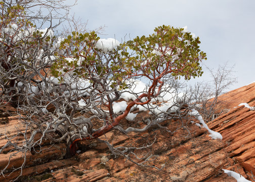 A manzanita bush grows from a crack in a weathered red sandstone boulder with snow on the bush and rock.