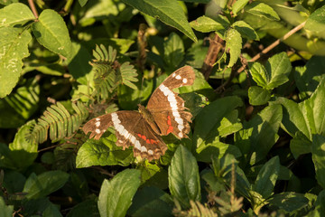 A beautiful brownish butterfly in the Alta Verapaz region, Guatemala