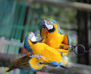 Macro photo of nature blue macaw parrots
