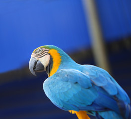 Bright macro photo of a beautiful blue macaw parrot