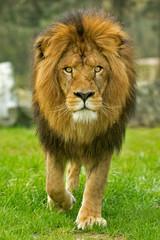 Male lion walking forward