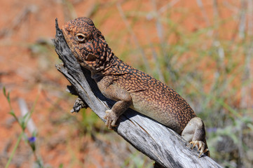 Central Netted Dragon