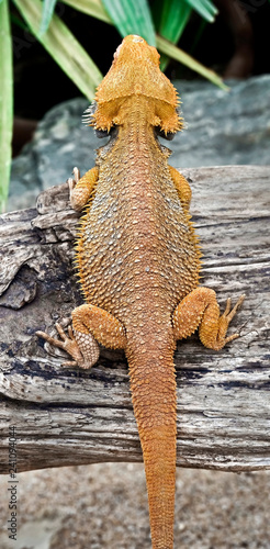 Bearded dragon  Latin name - Amphibolurus vitticeps