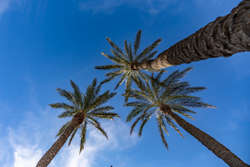 three palm trees and the sky