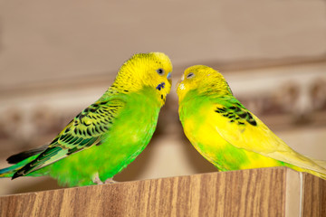 two wavy parrots are sitting on the closet