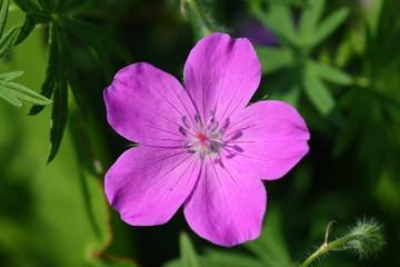 Obraz Kwiat Bodziszek czerwony - fototapety do salonu