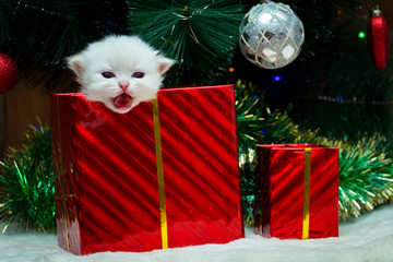 A small white British kitten sticks his head out of the box with a Christmas gift, a kitten as a gift for the new year.
