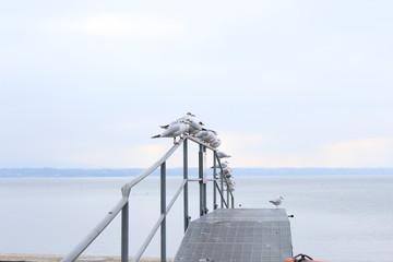 Ligned up seagulls
