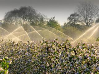 Beregnungsanlagen in Apfelplantage - Frostschutz