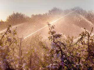 Apfelplantage unter Beregnung- Frostschutz