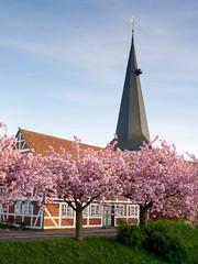 Kirche in Jork Borstel zur Zeit der Kirschblüte