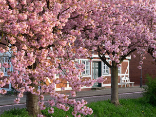 Fachwerkhaus in Jork-Borstel zur Blütezeit