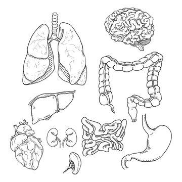 Vector Sketch Set of Anatomical Human Organs