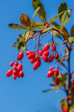 Fresh berries of berberis on the branch in the end of October. Isolated