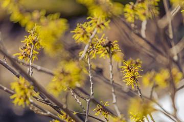 yellow witch hazel blossom