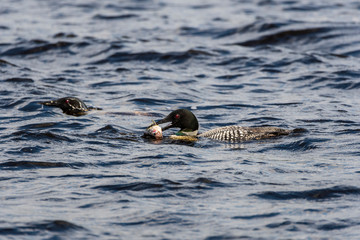 Common loon, state bird of Minnesota swimming in the waters of Nelson lake in Hayward, WI