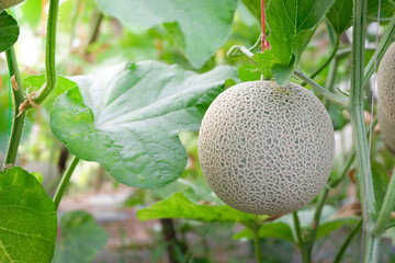 Green cantaloupe or melon with leaves hanging on vine plant vertical growing in greenhouse organic agricultural farm.