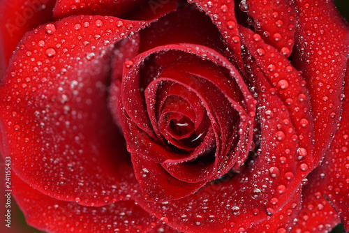 Close up view of red rose