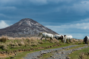 Wild Horses Sugarloaf Mountain Co. Wicklow Ireland