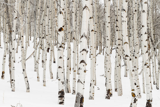Many Aspen trees with white bark and snow in the winter nature forest