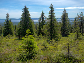 Summer landscape with spruce trees in the wilderness of Riisitunturi national park, a mountain in Lapland in Finland. Young trres on the foreground and a distant lake on the background.