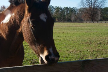 Horse Chewing on Fence