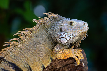 Closeup large iguana. Latin name Iguana iguana