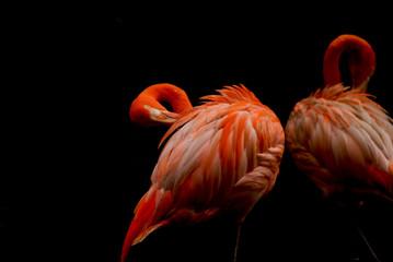 2 red flamingos grooming under shade.