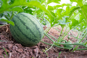 Green watermelon on plant vine growing on ground of organic agricultural farm.